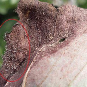 Nahaufnahme: Blattnekrosen und Sporenträger auf Ackerbohnenblatt