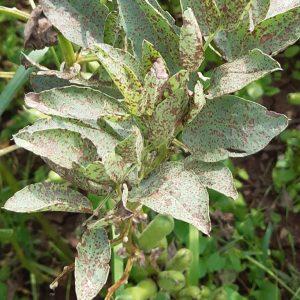 Ackerbohnenblätter mit Flecken